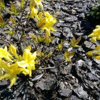 """Рододендрон желтый """"Sunte Nectarine"""" :: alexeevairina ."""