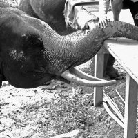 Слон :: Ekaterina Ribnikova