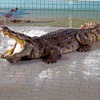 Крокодил :: Ekaterina Ribnikova
