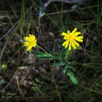 лесные цветы :: Диана Гилева