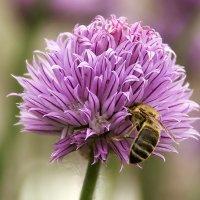 тружусь как пчелка :: Елена Богомазова