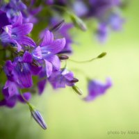 Violet :: Aleksandra Rastene