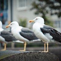 Исландские чайки :: Елена Трунова