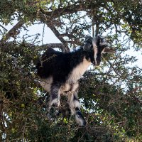 Коза на дереве :: Алексей Сильников