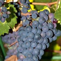 Гроздь винограда :: Геннадий Тимохин