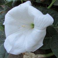 утренний цветок :: Marina Timoveewa