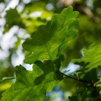 листья дуба :: aiex r