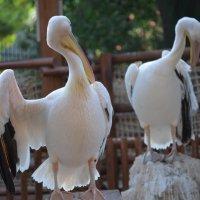 Пеликаны :: Евгений Васильев