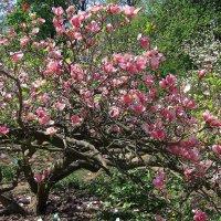 Магнолия в цвету :: Ростислав