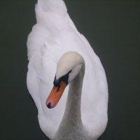 Белый лебедь :: Александр Клявзуник