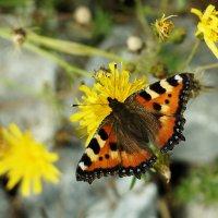 Бабочка. :: Валерий Молоток