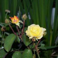 Северная Роза :: Диана Мелина