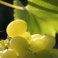 Grapes :: Светлана М