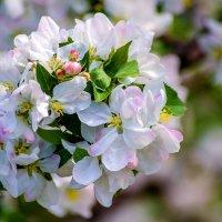 Яблоня цветёт :: Андрей Домрачев
