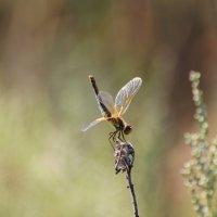 Жизнь стрекозы :: Olga Panova