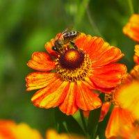 пчелка пьёт нектар :: Дима Нестеров