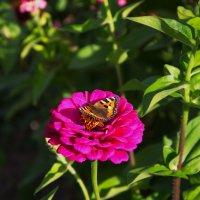 бабочка на цветочке :: Дима Нестеров