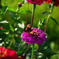 бабочка на цветке :: Дима Нестеров