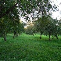 Яблоневый сад :: Александр Клявзуник