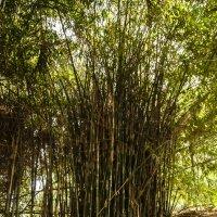 Заросли бамбука :: susanna vasershtein