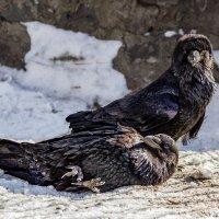 Два ворона :: Nn semonov_nn