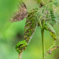 Лягушка на малине :: Николай Леммер
