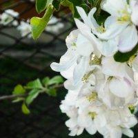 Яблони цвет :: Елизавета Егорова