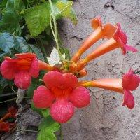 орхидея :: Виолетта Козырева