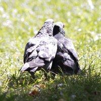 Счастливая семья голубей :: Максим Болотов