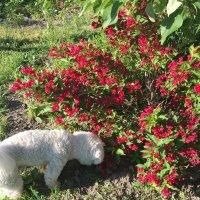 Вейгела цветет :: minchanka