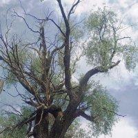 Могучее дерево :: Галина Каюмова