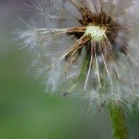 Одуванчик, поеденный насекомыми :: Nikolay Svetin