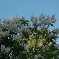 Сирень  под проводами :: Фотогруппа Весна.