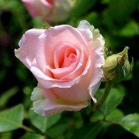 Розы :: Надежд@ Шавенкова