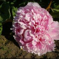 Розовый пион :: lady v.ekaterina