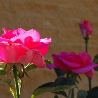 Розы майским утром... :: Тамара (st.tamara)