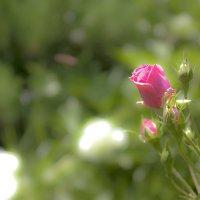 Вот роза, всех цветов царица, Блестит румянца красотой, Как утра майского денница, И дышит сладостно :: владислав завадич