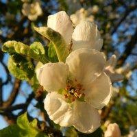 Яблони в цвету за мною мчатся! :: Анатолий Кувшинов