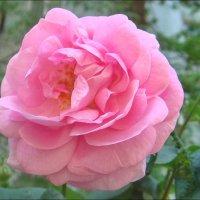 Нежность розы :: Нина Корешкова