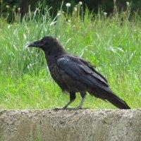 Черный ворон :: Ната Волга