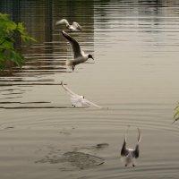 Танцы чаек над водой :: Татьяна Ломтева