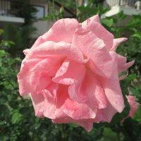 Майская роза. :: Валентина Жукова