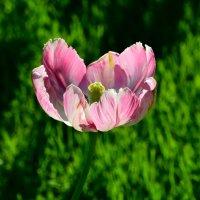 Тюльпан весь наполнен солнечным светом... :: Ольга Русанова (olg-rusanowa2010)