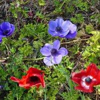 Колониты - цветы весны :: Vanda Kremer