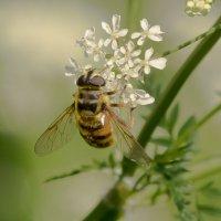 Пчела-труженица :: Олег Фролов