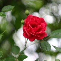 Роза :: Minowara Sam
