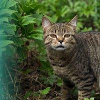 Кот на прогулке :: Elena Wise