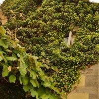 Дикий  виноград  украшает  многие  дома :: backareva.irina Бакарева