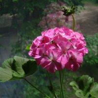 Цветёт геранька на моём окне :: Татьяна Георгиевна