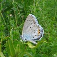 Голубянка короткохвостая              Голубянка аргиад, :: vodonos241